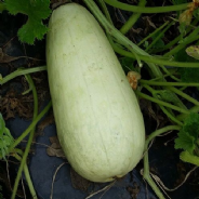 Marrow Long White Bush 2 - 15 seeds